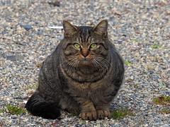 Cat (猫)