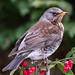 Our visitor the Fieldfare