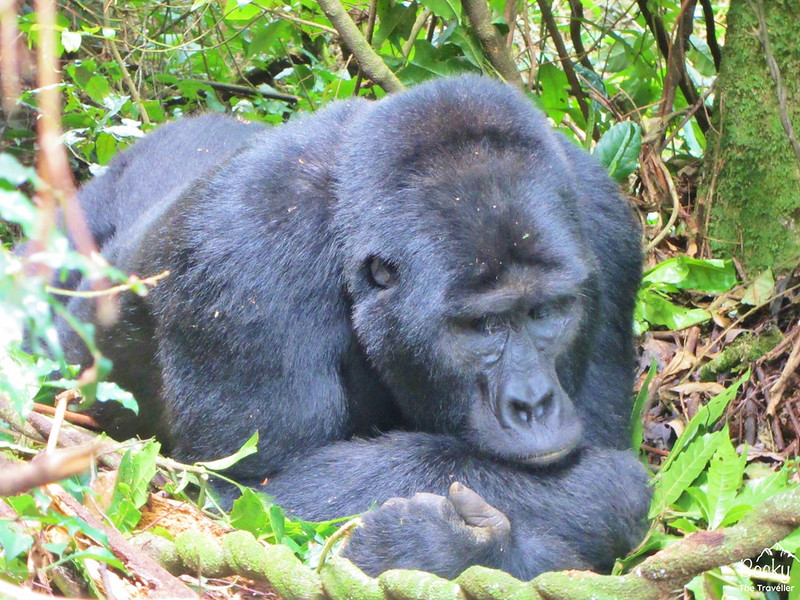 Gorilla trekking in Uganda - beautiful mountain gorillas
