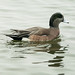Small photo of American Wigeon Male