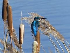Kingfisher P1560284