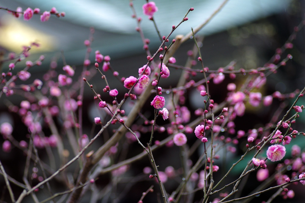 Early blooming plum