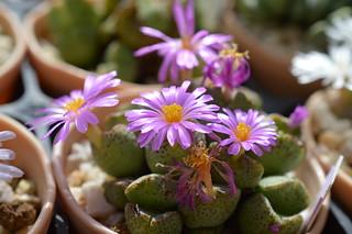 DSC_6874 Conophytum taylorianum コノフィツム タイロリアナム