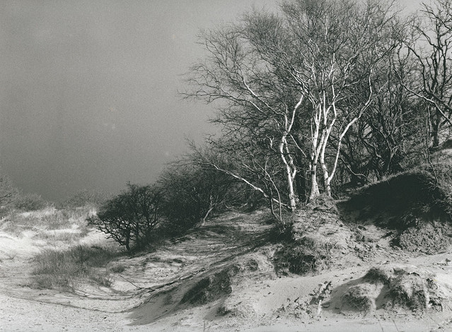 Birches - toned version
