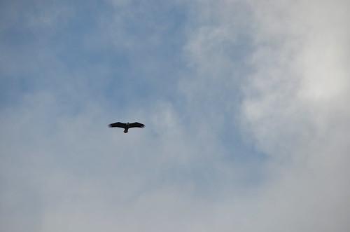 Tofino - Eagle