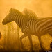 Backlit Zebras by Will Burrard-Lucas | Wildlife