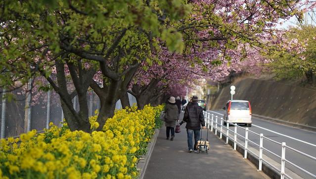 DSC07143三浦海岸桜まつり