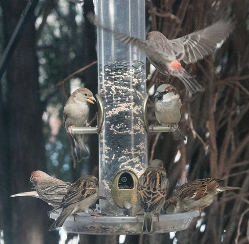 finches_sparrows_on_feeder-20180122-101