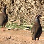 Aves en las lagunas de La Guardia (Toledo). 19-02-2018