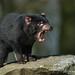 Tasmanischer Beutelteufel / tasmanian bag devil