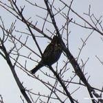 Aves en las lagunas de La Guardia (Toledo). 27/28-1-2018
