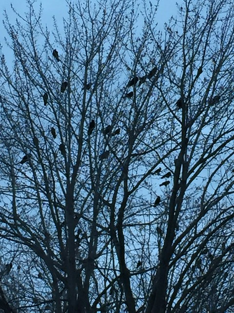 Crows in the Tree