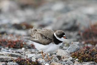 Adult Semipalmated Plover, Charadrius semipalmatus, ruffling its feathers on rocky arctic tundra