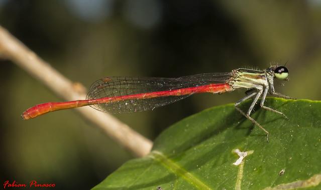 Zigoptera sp.-