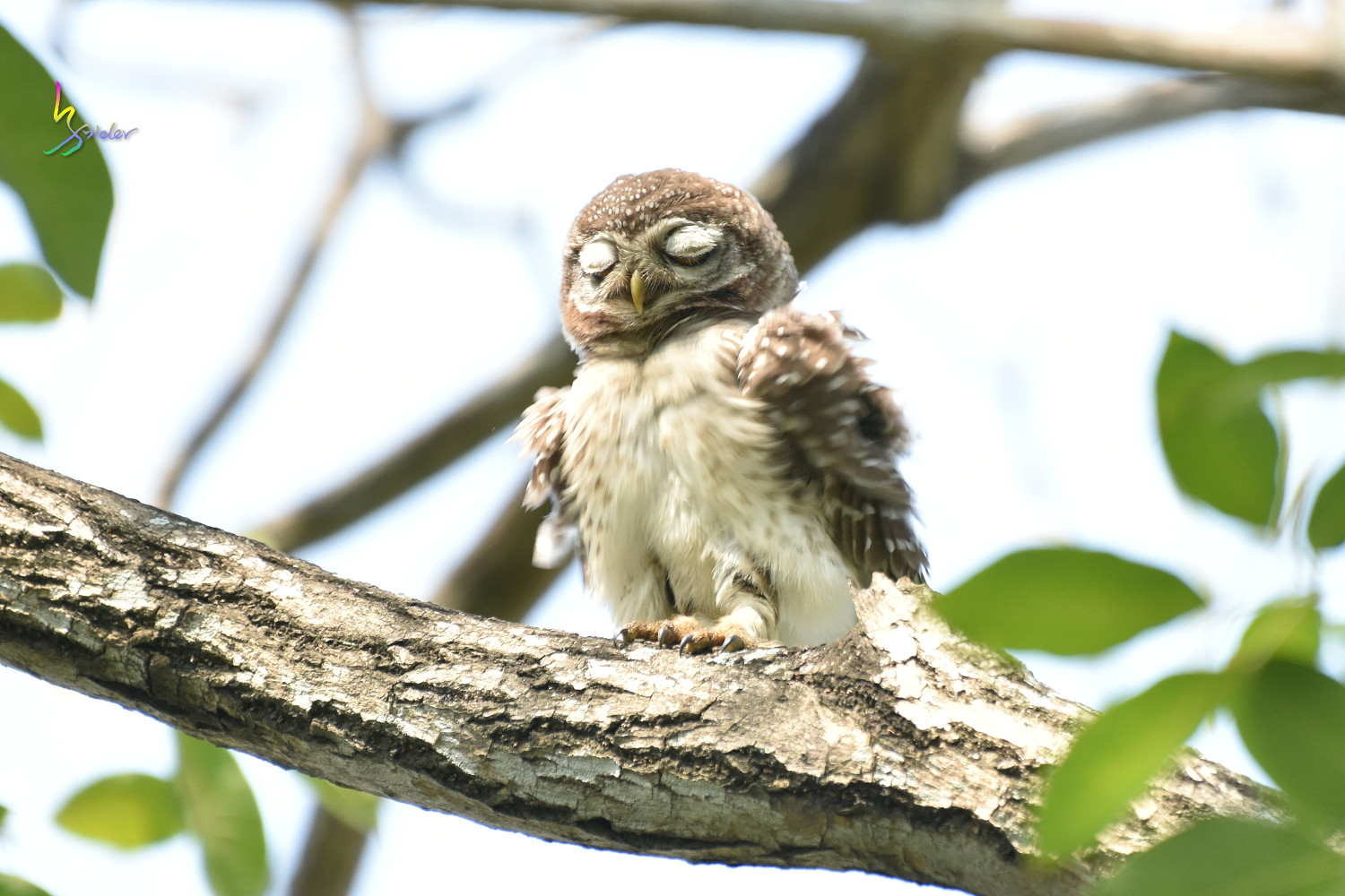 Spotted_Owlet_0602