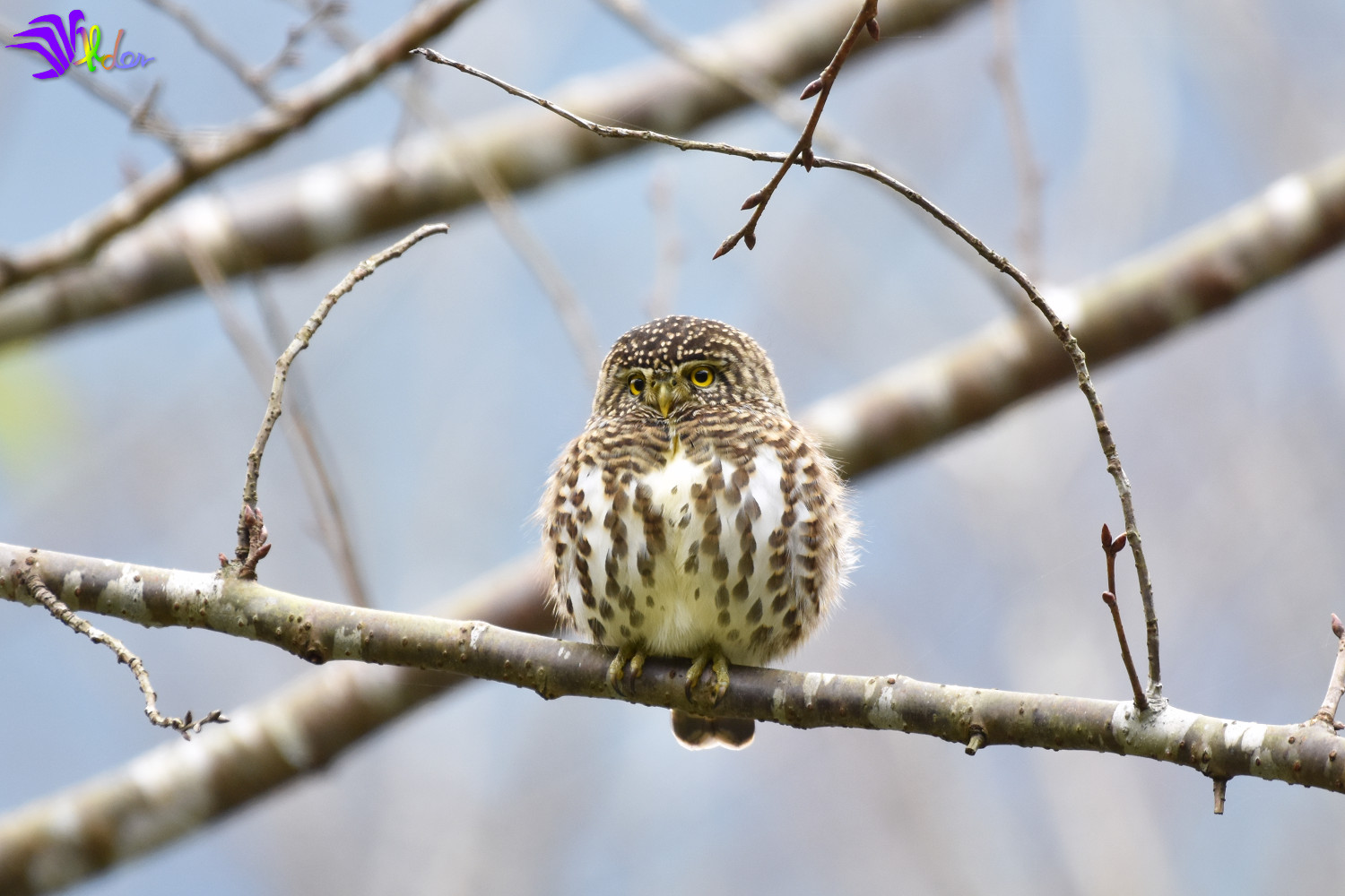 Collared_Owlet_5617