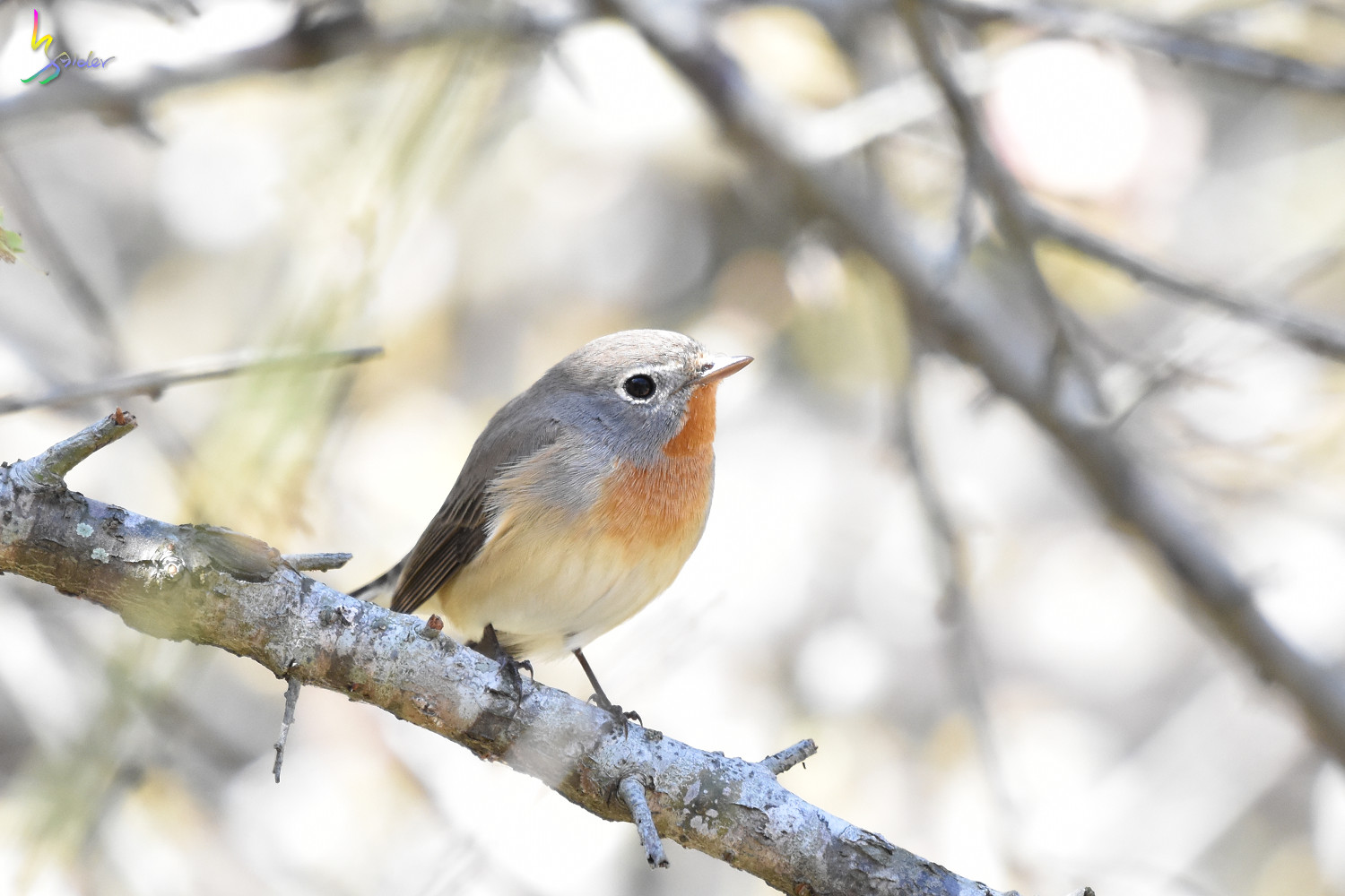 Red-breasted_Flycatcher_6124
