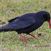 Red-billed Chough (Pyrrhocorax pyrrhocorax pyrrhocorax)