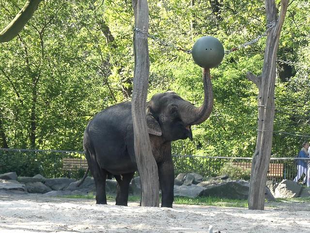 Asiatischer Elefant, Zoo Berlin