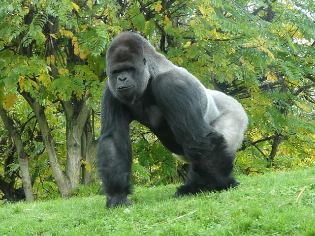 Gorilla Makula, GaiaZOO