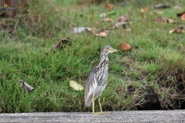 Pond_Heron_2569