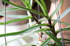 Blütentriebe Ascocentrum christensonianum