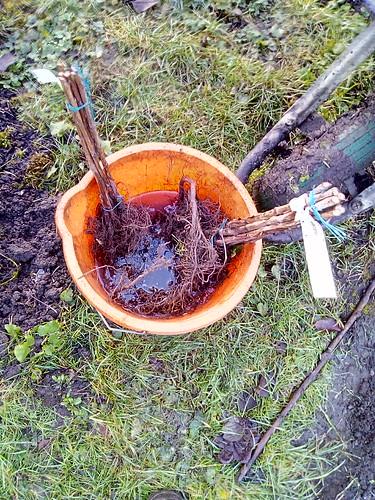 planting raspberries Jan 18 (1)