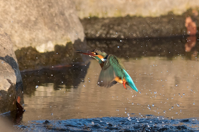 20180212-kingfisher-DSC_8564