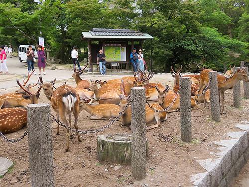 IMG_6651 Deer @Nara park Japan