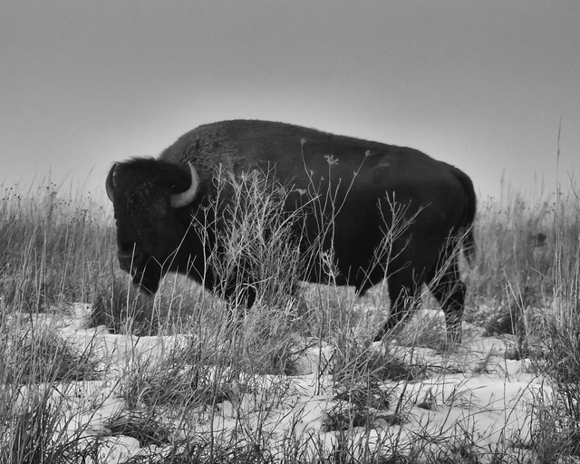 Bison and snow, RICOH PENTAX K-3, smc PENTAX-F 35-70mm F3.5-4.5