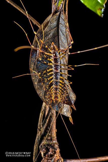 Long-legged centipede (Scutigeridae) - DSC_7747