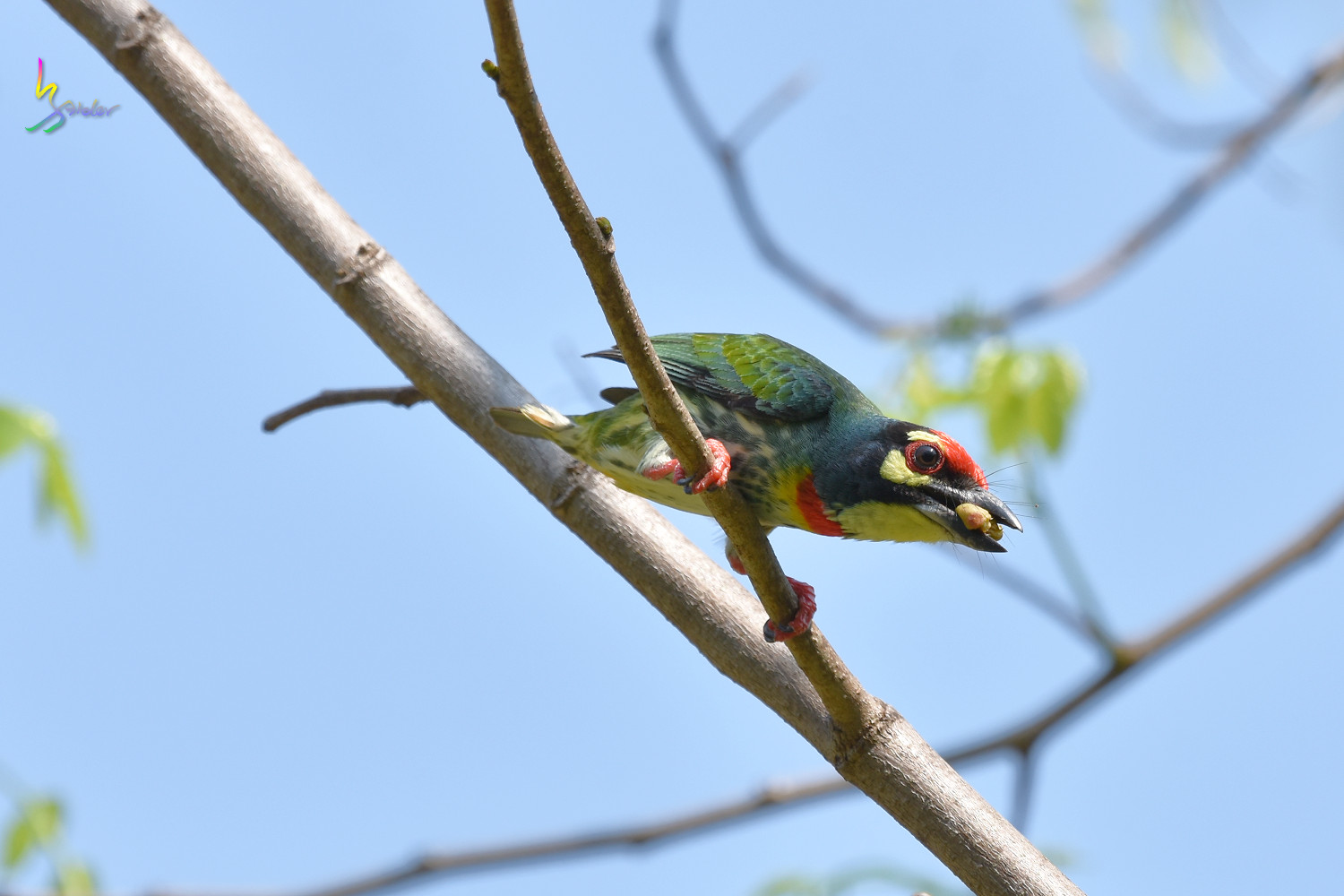 Coppersmith_Barbet_7543