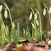 Snowdrops at Ness Gardens