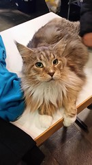 Big Main Coon cat on a cat show