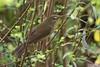 Blyth's Reed Warbler, Acrocephalus dumetorum