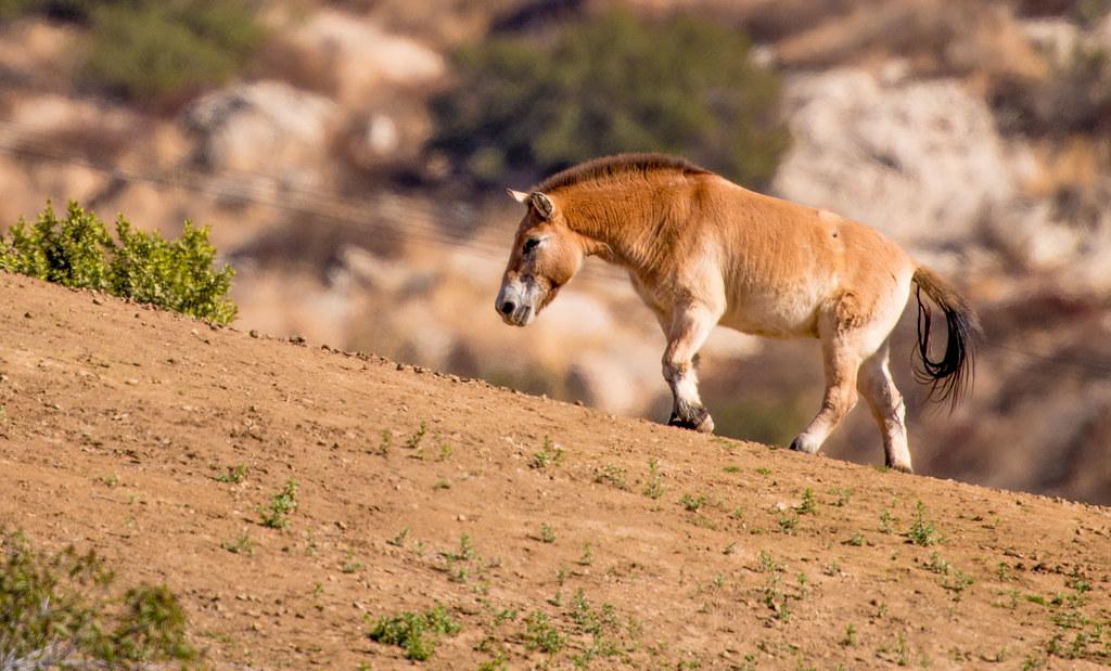 Przewalski's Wild Horse_2