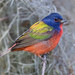 Painted Bunting by PeterBrannon