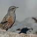 Alpine Accentor by Phil Gower Bird Photography