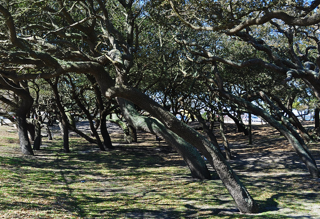 Live Oaks (Quercus virginiana) (1)