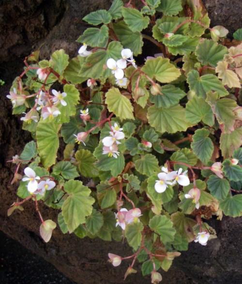 Begonia subvillosa 38564566940_5cbfd4d0d7_o