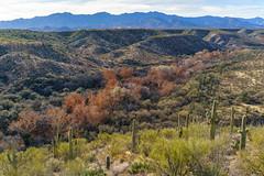 1801 Sycamores and Saguaros in Edgar Canyon
