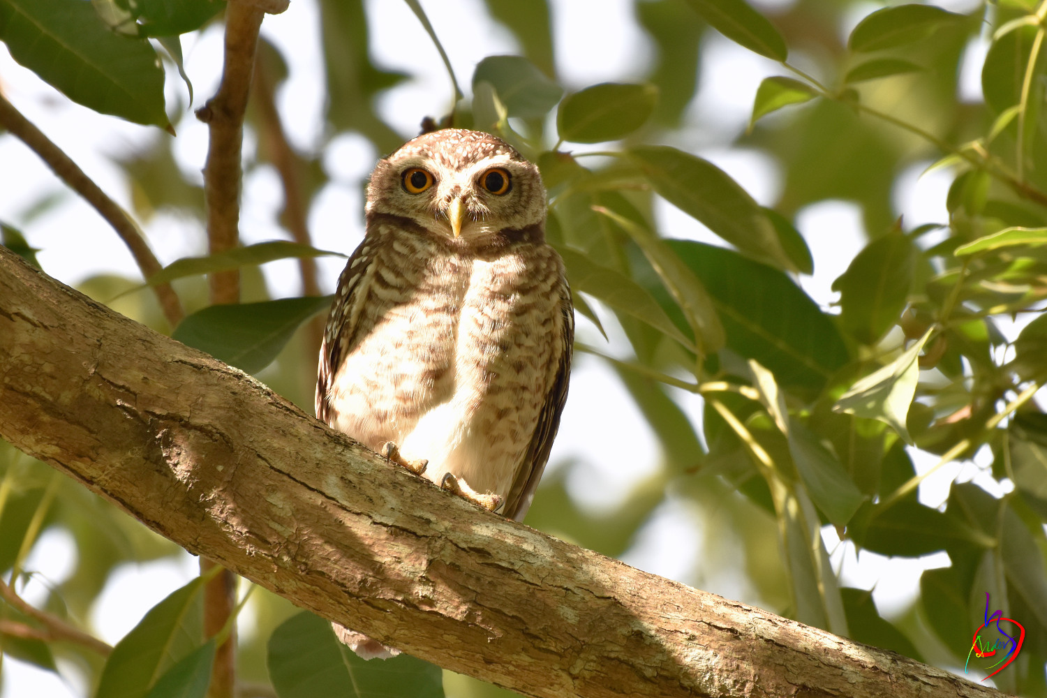 Spotted_Owlet_3978