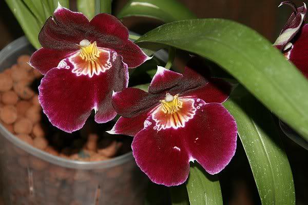 Les orchidées chez Sougriwa - Page 3 39109050754_71be499a48_z