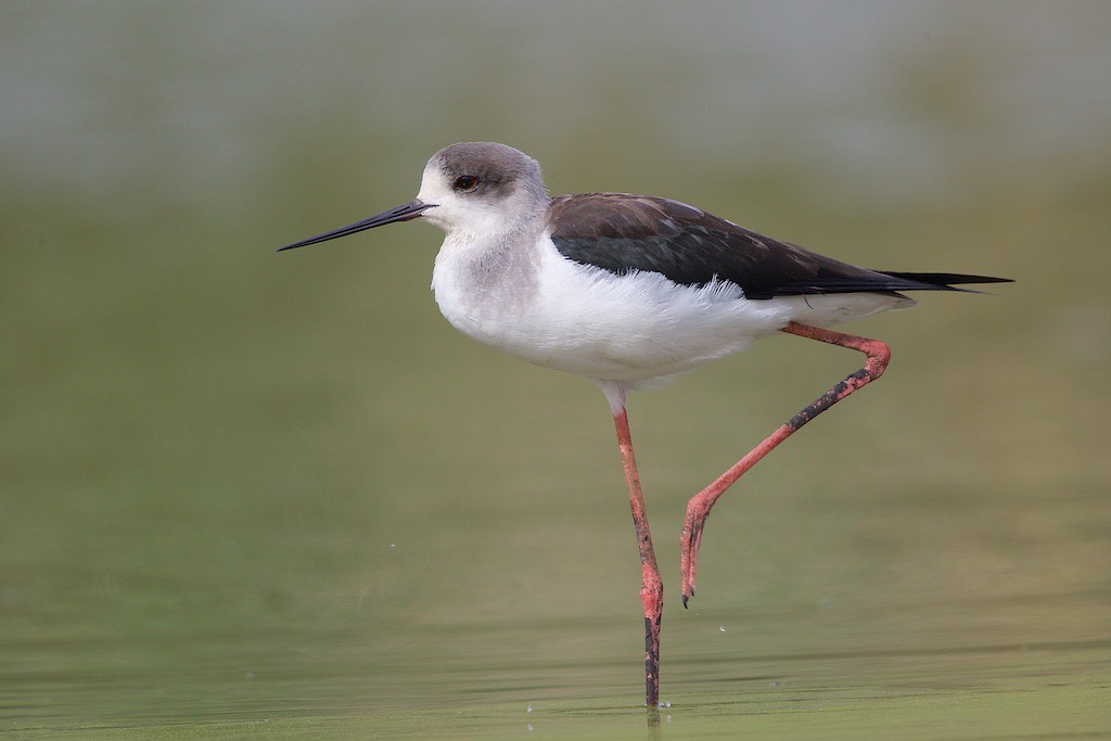 Black-winged Stilt Himantopus himantopus 32018-01-28