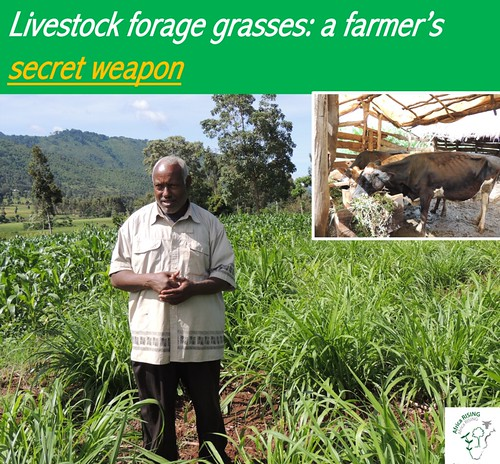 Forage grass – forage legumes combinations for livestock feed, soil protection and income generation.