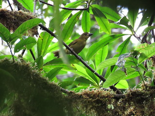 Carmiol's Tanager or Olive tanager