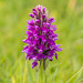 Northern Marsh orchid by ceeko