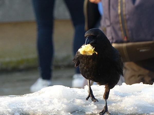 corbeau affamé