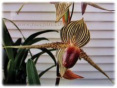 Beautiful flower of Paphiopedilum rothschildianum (Rothschild's Slipper Orchid, Gold of Kinabalu Orchid), Feb 24 2018