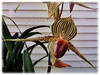 Paphiopedilum rothschildianum (Rothschild's Slipper Orchid, Gold of Kinabalu Orchid)